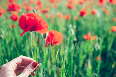 Close-up of hand and poppy flower, poppies field is on the background. Selective focus. Zdjęcie Seryjne
