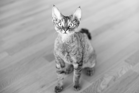Portrait of a pretty curious Devon Rex cat. Kitty looking strait at camera. Posing. Black and white photo. Zdjęcie Seryjne