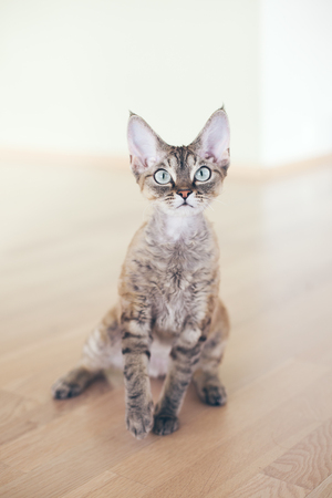 Portrait of a pretty curious Devon Rex cat. Kitty looking strait at camera. Posing adorable tabby kitten girl