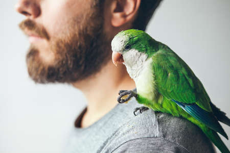 Green domestic parrot sitting on owners shoulder and eating snack.