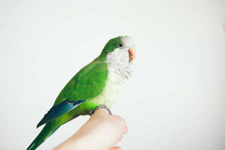 Photo of a green  parrot sitting on woman's hand. Close-up of friendly and cute Monk Parakeet on white background.