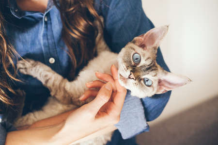 Close up of woman hands holding her Devon Rex cat. Home pets. Young woman is cuddling and hugging her cute curious Devon Rex cat. Cat is happy and purring and is looking directly at camera.