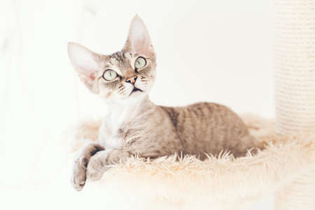 Cat is sitting inside a hammock on plush cat tree - perfect place for kitty to cozy up for a catnap. Devon Rex enjoys its bed. White background.