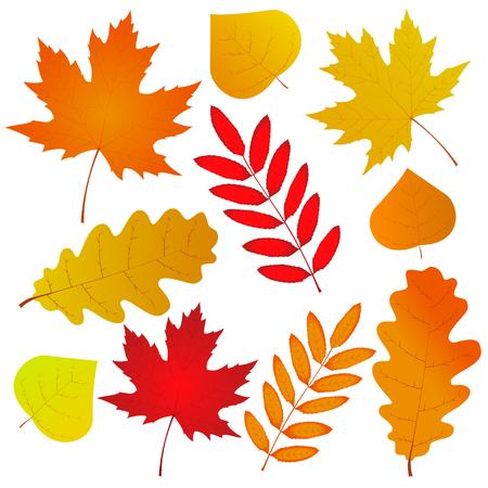 chokeberry: Set of autumn leaves isolated on white background. Vector illustration Illustration