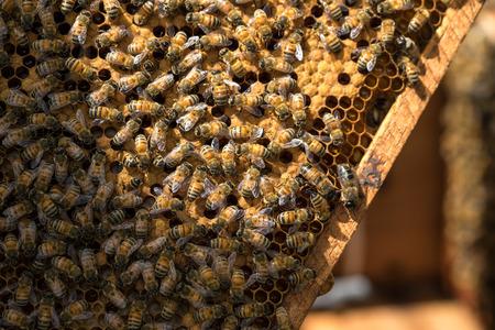 hardworking: Hardworking bees on honeycomb