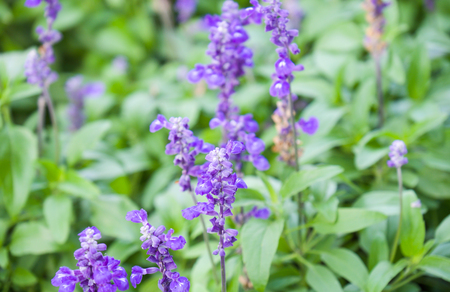 sooth: Beautiful lavender flowers with green leaf for nature background Stock Photo