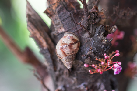 clawing: Brown snail on tree bark for nature background