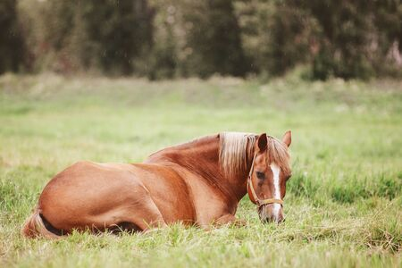 portrait of old horse laying in the grass in green field in summer 免版税图像