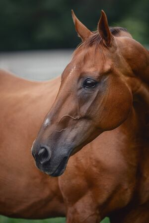 close portrait of beautiful elegant red mare horse with brown main on forest background