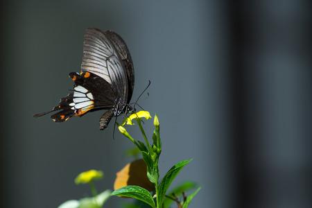 sucking: Butterfly sucking nectar