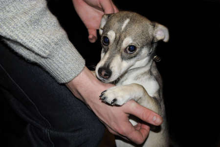 caresses: The person caresses small dog which looks sad eyes.
