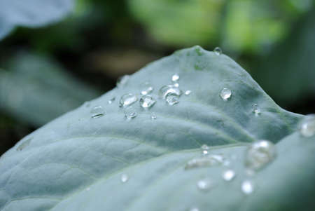 dampen: Small drops of dew on sheet of a green plant.
