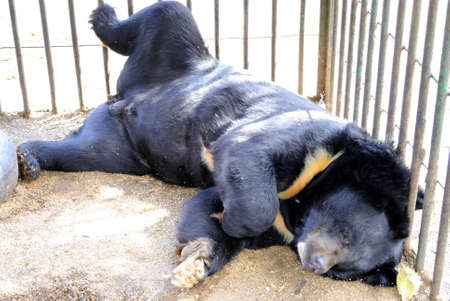 clutches: The black bear has a rest, lying in a cage