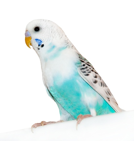Grey-blue wavy parrot, poultry photo