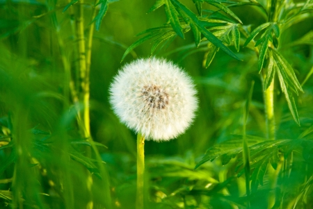 taraxacum: Dandelion (Taraxacum erythrospermum) closeup with natural background