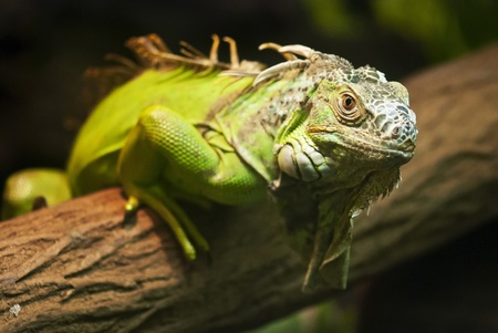 A close up shot of a green Iguana resting on a tree branch Stock Photo
