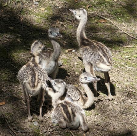 extant: Emu (Dromaius novaehollandiae)