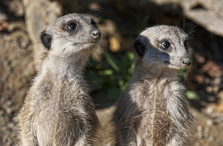 suricata suricatta: Meerkats on Guard of his territory Stock Photo