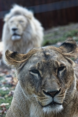 smooch: Closeup portrait of a female lion. Behind the male. Panthera leo. Stock Photo