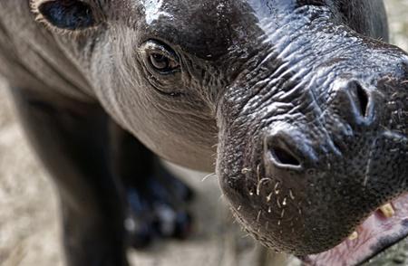 sympathetic: Sympathetic specimen of Hippopotamus pigmy, Hexaprotodon liberiensis