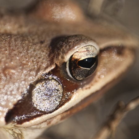 bulging eyes: Frog - small animal with smooth skin and long legs that are used for jumping. Frogs live in or near water.