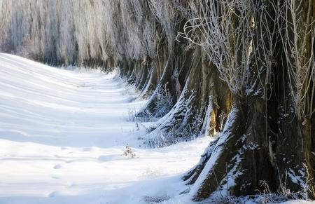 poplars: Winter landscape with poplars, park Stock Photo