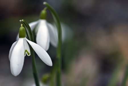 Closeup of white snowdrops taken from the side