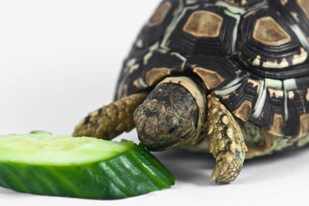 Leopard Tortoise (Geochelone pardalis) isolated on white background is eating cucumber