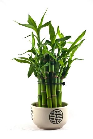 bambou: Lucky bamboo (Dracaena sanderiana) dans un pot en porcelaine