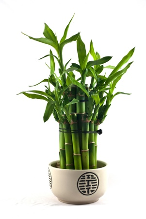 Lucky bamboo (Dracaena sanderiana) in a porcelain pot photo
