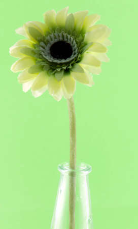 Image of yellow gerbera on green background photo