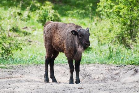 European bison calf walking by the park (Bison bonasus) photo