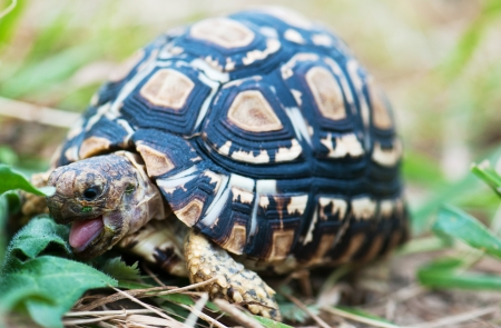 Tongue out of leopard tortoise photo