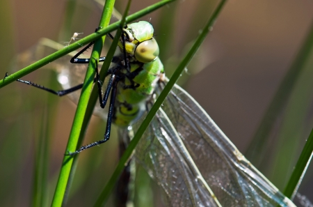 Beautiful green dragonfly hunts insects Stock Photo - 13838675