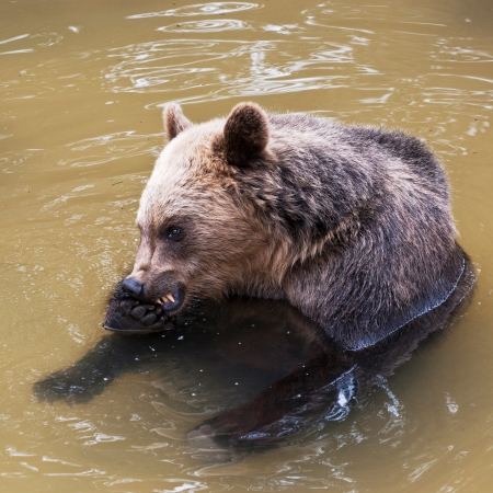 Young bear in the swimming pool (Ursus arctos) photo