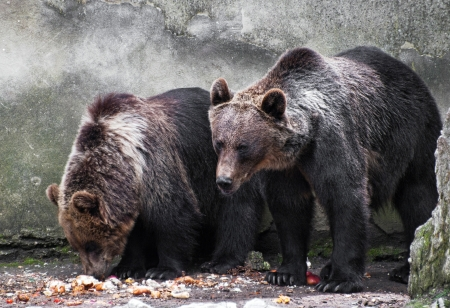 Two bear brothers eating (Ursus arctos) photo