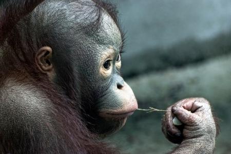 Look of little monkey (Pongo pygmaeus) photo