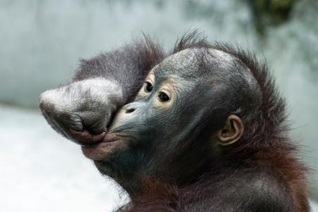 Funny moue of little orangutan (Pongo pygmaeus) photo