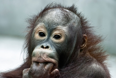 Small orangutan licking the fingers (Pongo pygmaeus) photo
