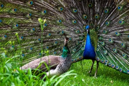 pavo: Randezvous of peacock pair (Pavo cristatus)