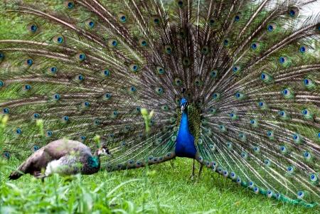 lovemaking: Lovemaking of peacocks (Pavo cristatus)