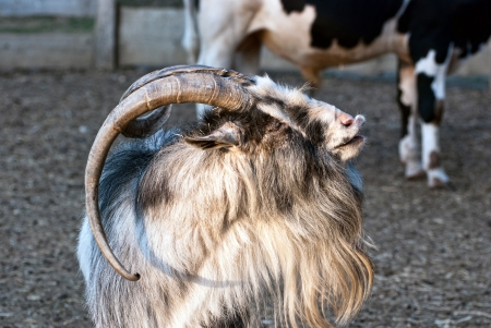 Goat looks left by sunset Stock Photo - 14773834