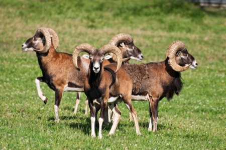 ovis: Herd of mouflons (ovis musimon)