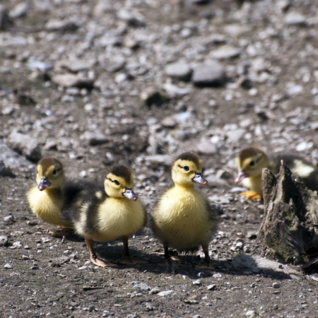 progeny: Muscovy ducks young ones (carina moschata)