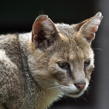 Portrait of a cat (felis chaus)