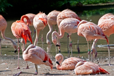 The colonies of resting chilean flamingos