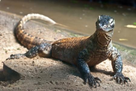 Portrait of Komodo Dragon (Varanus komodoensis)