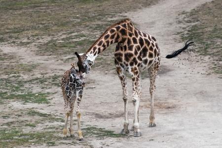 Mom giraffe kiss her cub (Giraffa camelopardalis rothschildi)
