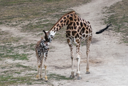 Mom giraffe kiss her cub (Giraffa camelopardalis rothschildi) photo