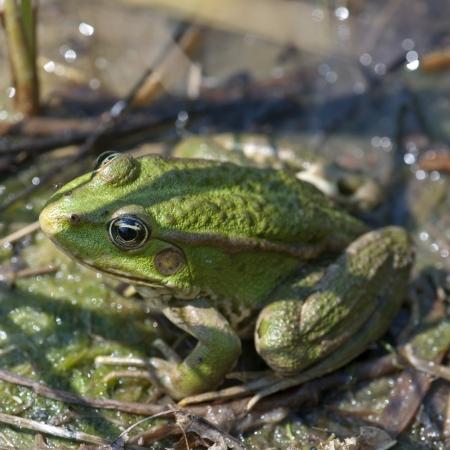 grenouille verte: Grenouille verte se reposant dans le lac